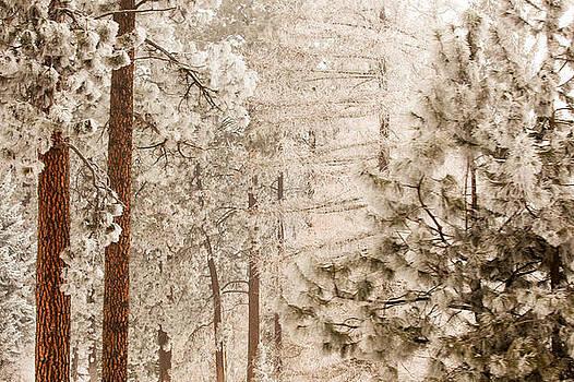 Frosty Pines by Paul Bartoszek