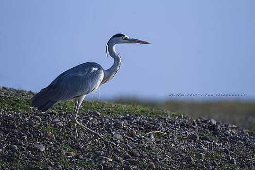 Grey-Heron by Virag Yelegaonkar