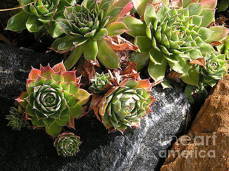 Hens and Chicks II by Tracy L Teeter