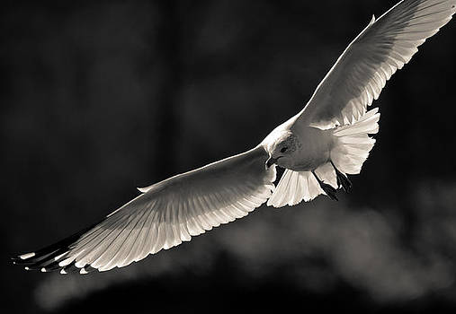 Incoming Ring-billed Gull by Dave Weth