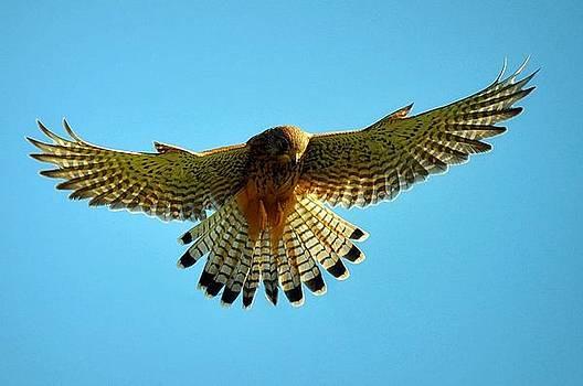 Kestrel Hovering by Bev  Brown