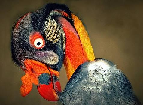 King Vulture by Bev  Brown