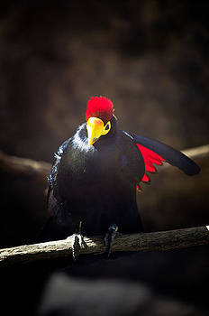 Lady Ross Turaco by Swift Family