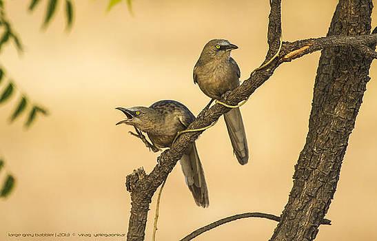 Large-Grey-Babblers by Virag Yelegaonkar