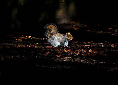 Late evening squirrel by Peter Nix