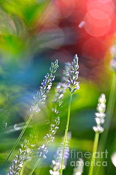 Lavender in Springtime by Jay Nodianos