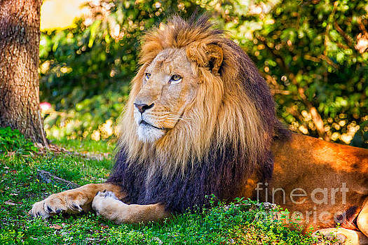 Lion laying in grass by Stephanie Hayes