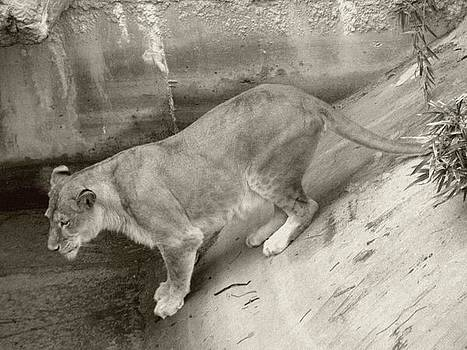 Lioness Sepia by Joseph Baril
