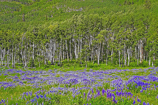 Lupine at Forest Edge by Sharon I Williams