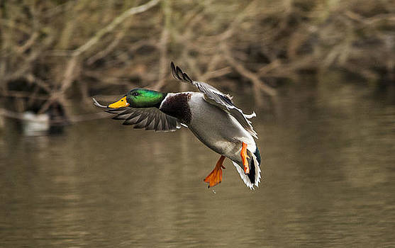 Mallard Duck landing on lake by Simon West