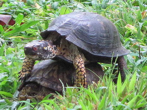 Mating Turtles by Vicki Kennedy