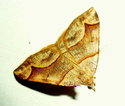 Moth by Salman Ravish