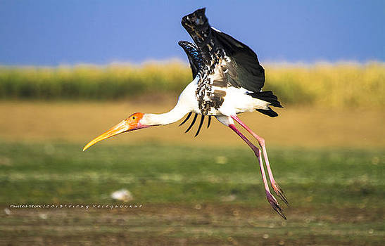 Painted-Stork by Virag Yelegaonkar