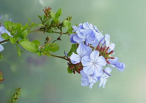 Pale Baby Blue by Ilona Stefan