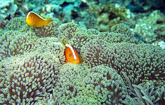 Peekaboo Clownfish by Laura Hiesinger
