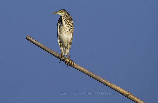 Pond Heron by Virag Yelegaonkar