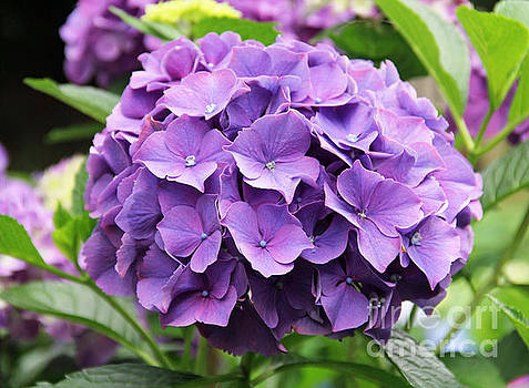 Purple Cluster by Rosemary Aubut