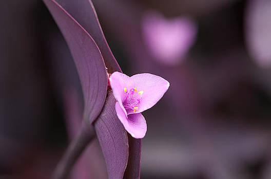Purple by Paul Pascal