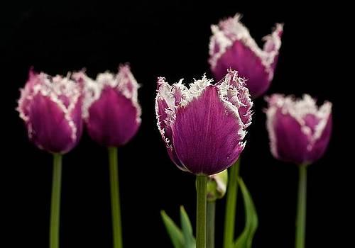 Purple Tulips by Dan Ferrin