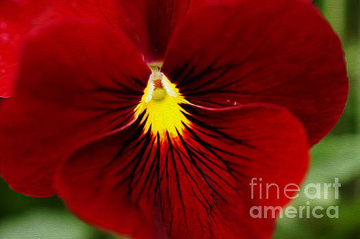 Red Pansy by Nur Roy