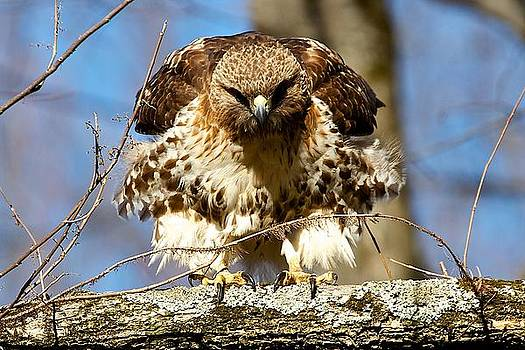 Red-tailed Hawk prepares to launch by Dan Ferrin