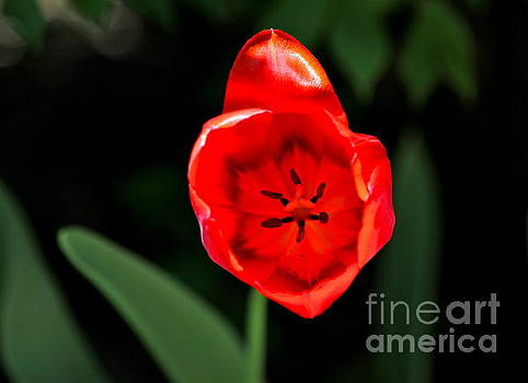 Red Tulip  by Jay Nodianos