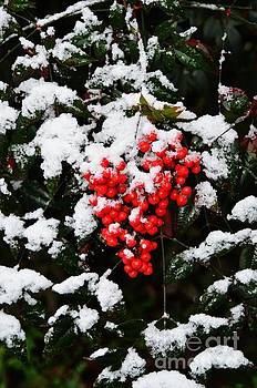 Redberry snow by Dwayne Cain