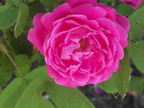Rose Gem by James Rishel