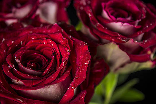 Roses are Red by Elizabeth Wilson