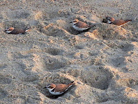 Sandpiper by Brooke Finley