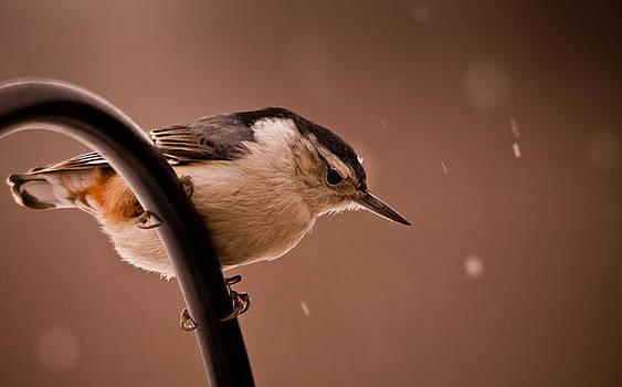 Snowy Nuthatch by Dave Weth