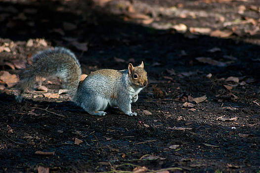 Squirrel by Peter Nix
