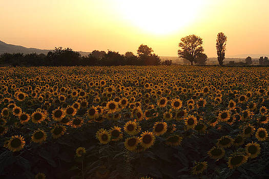 Sunflowers field on Sunset by Kiril Stanchev