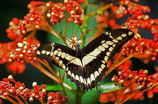 Swallowtail butterfly by Cheryl Cencich