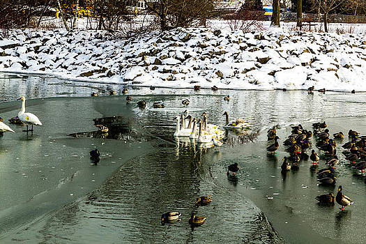 Swans and geese by Tibor Co