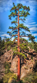 Tall Pine Tree by Janice Sullivan