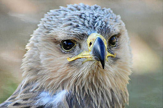 Tawny Eagle by Bev  Brown