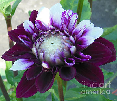 The Purple Dahlia by Rosemary Aubut