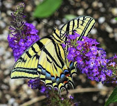 The underside of a swallowtail butterfly by Steve Barge