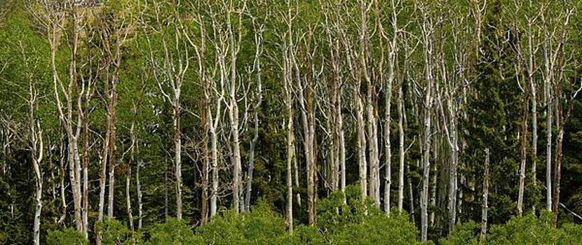 Trees by Kimberly Oegerle