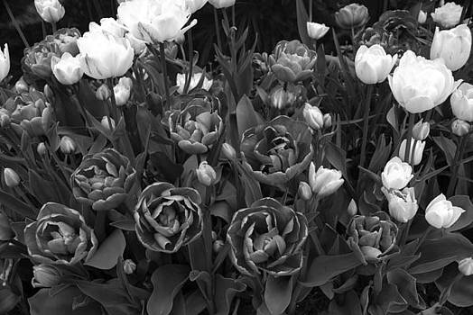 Tulips by Donna Desrosiers