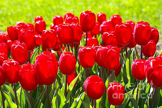 Tulips by Nur Roy