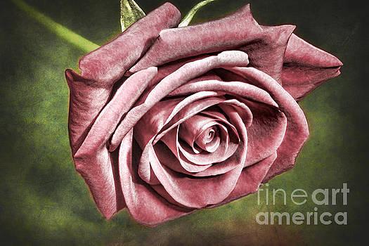 Velvet Rose by Mariola Bitner