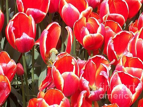 Vivid Orange and Red Tulips by Brooke Finley