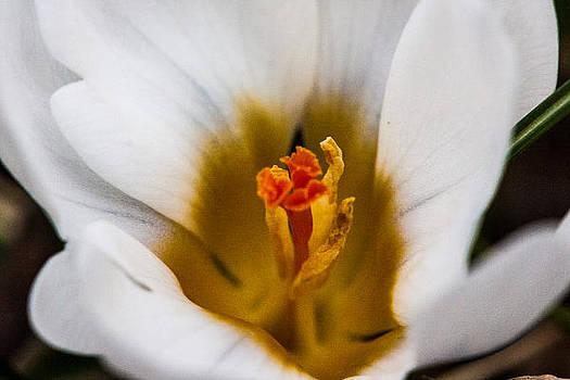 White Crocus by Gene Linzy