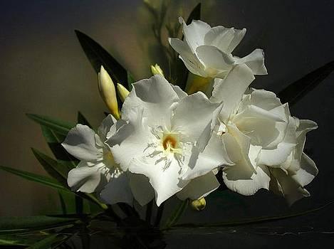 White Oleander by Ilona Stefan
