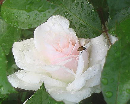 White Rose with a Visitor by Brooke Finley