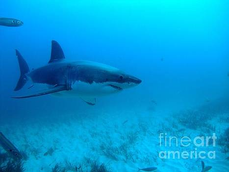 White shark cruising the seafloor by Crystal Beckmann