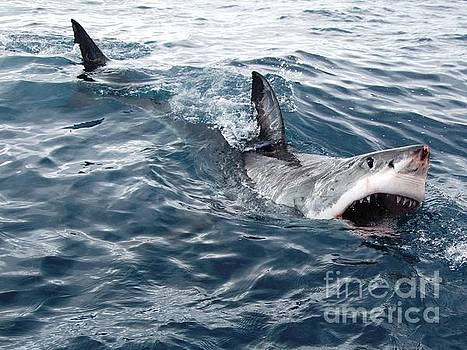 White shark looking for bait by Crystal Beckmann