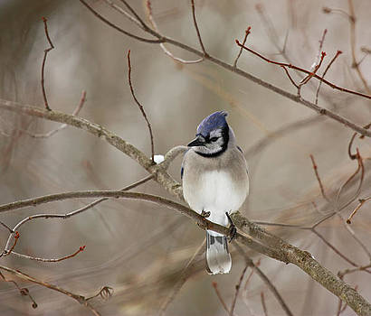 Winter Blue Jay by Karl Gebhardt